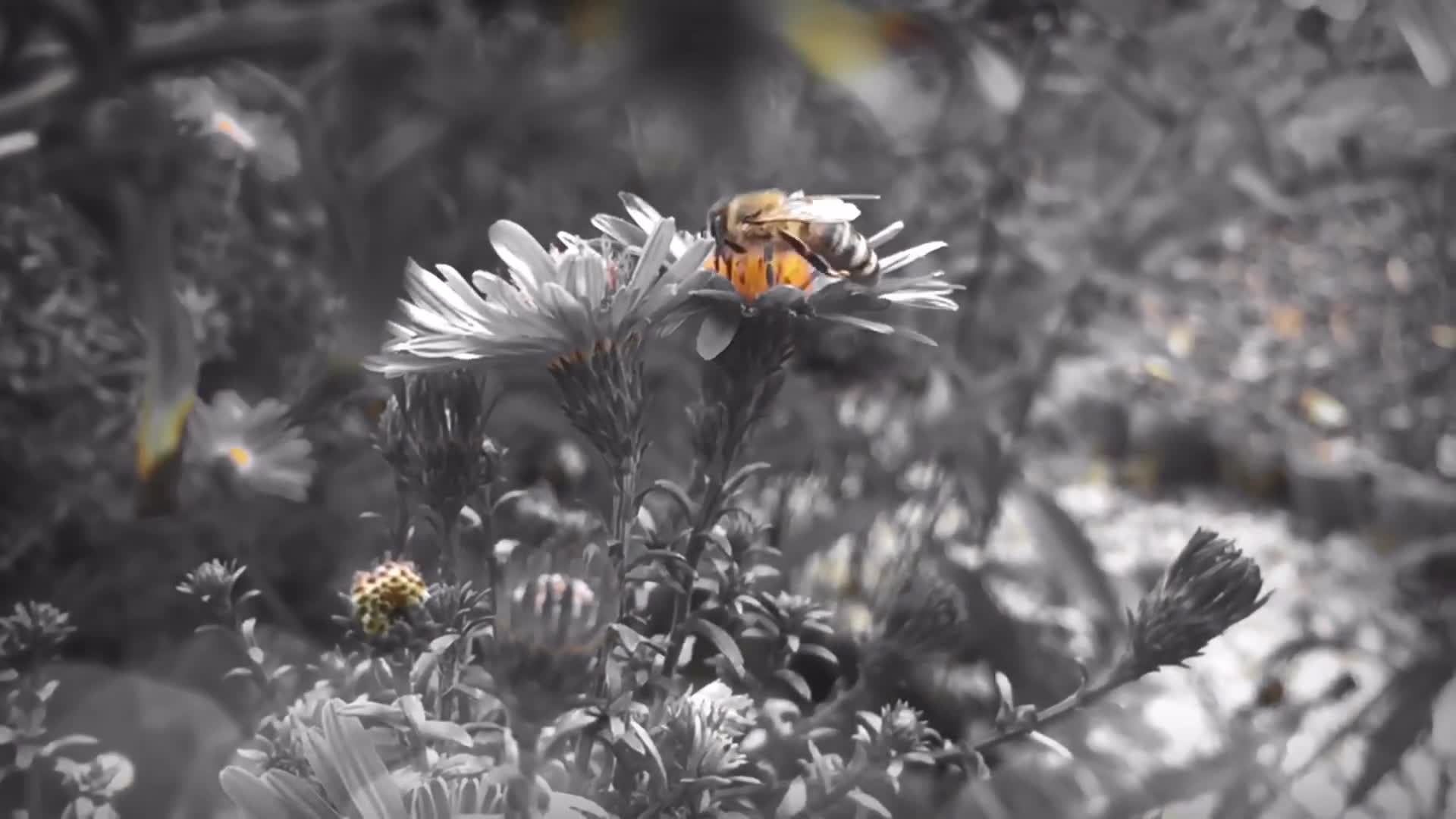 Black and white video of flowers and bee