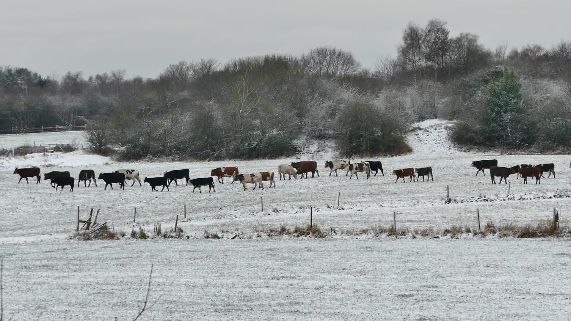 A herd of cows in the winter