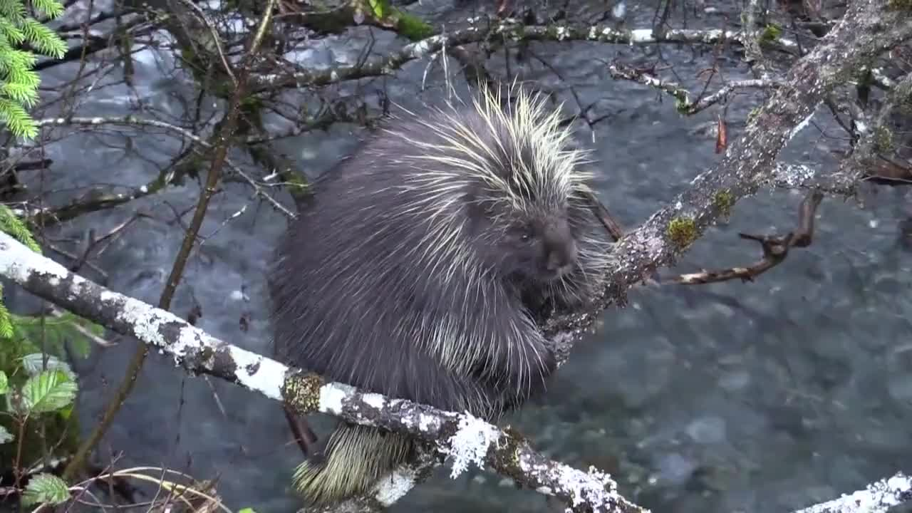 Porcupine climbs tree branches