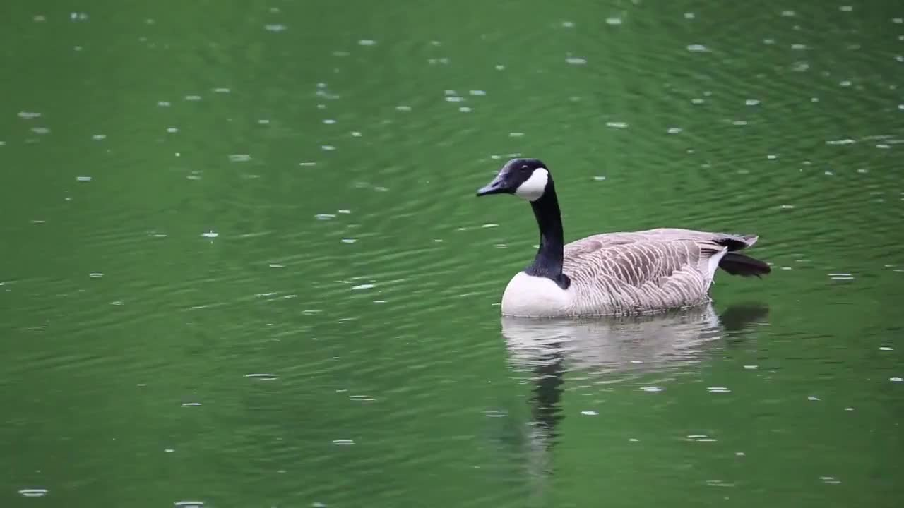 Goose canada goose waterfowl birds water