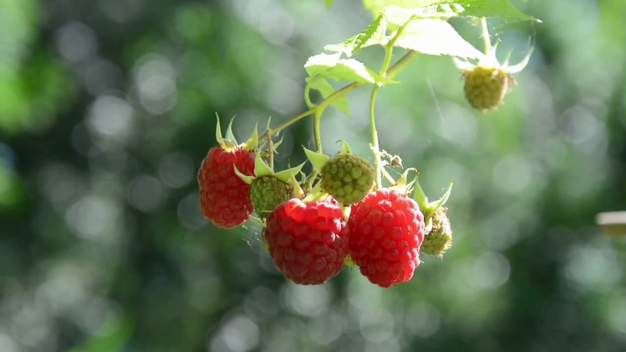 Raspberries berries summer fruits mature