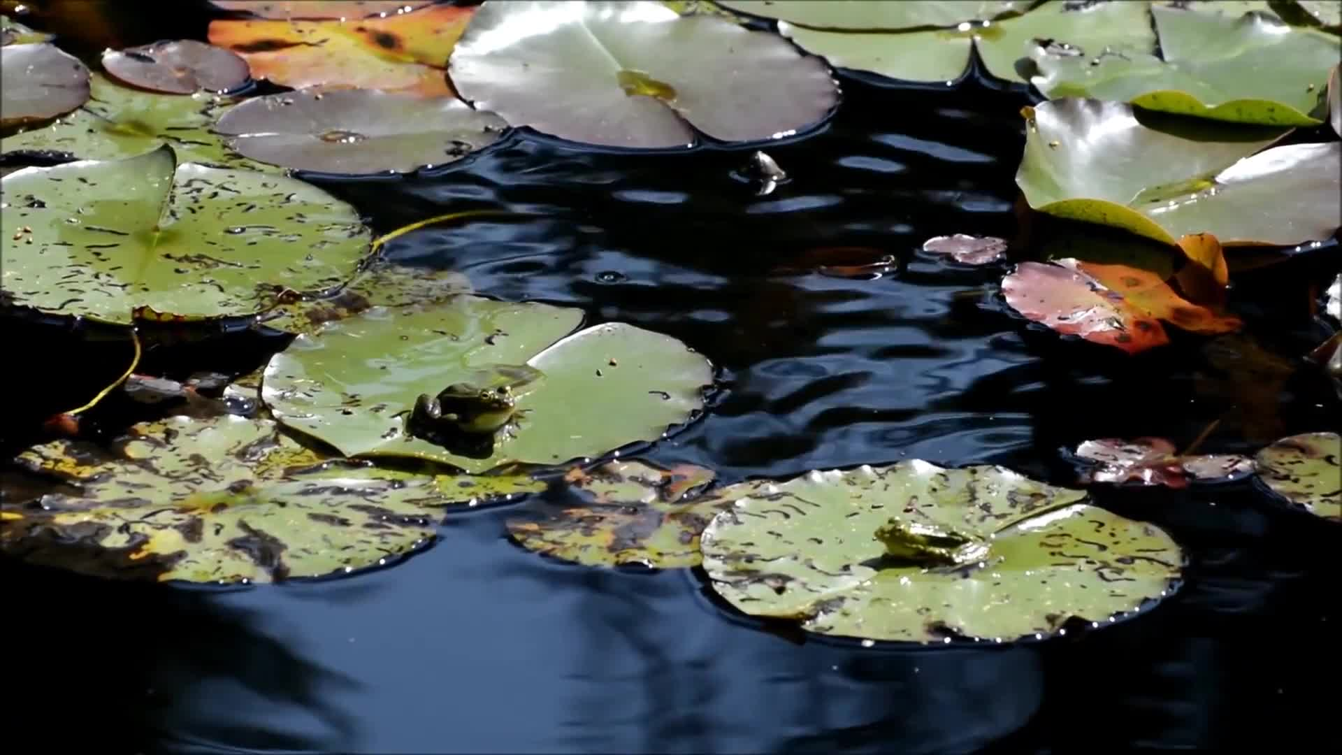 Frogs hop lily pad animal nature