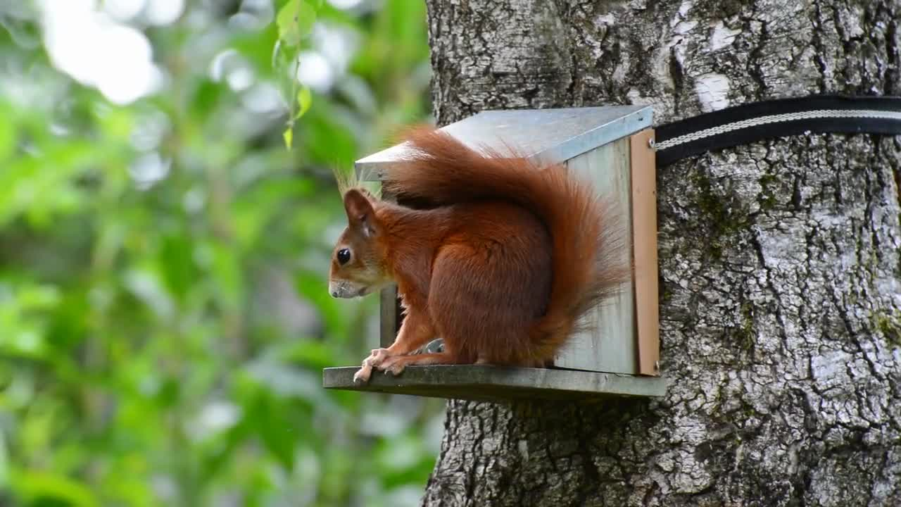 Squirrel red nager cute nature