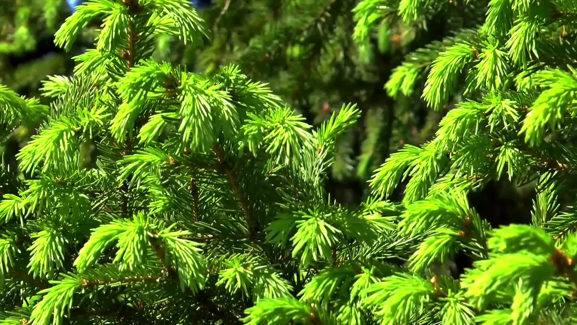 Spruce background tree nature herringbone