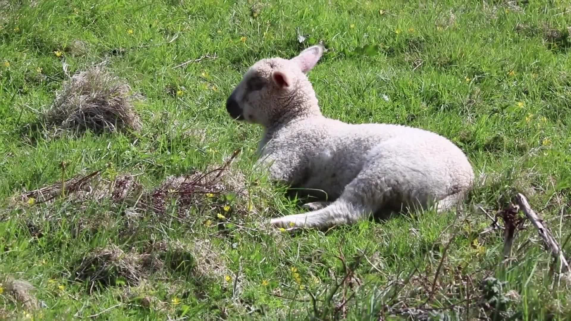 Lamb lying down cute sheep white
