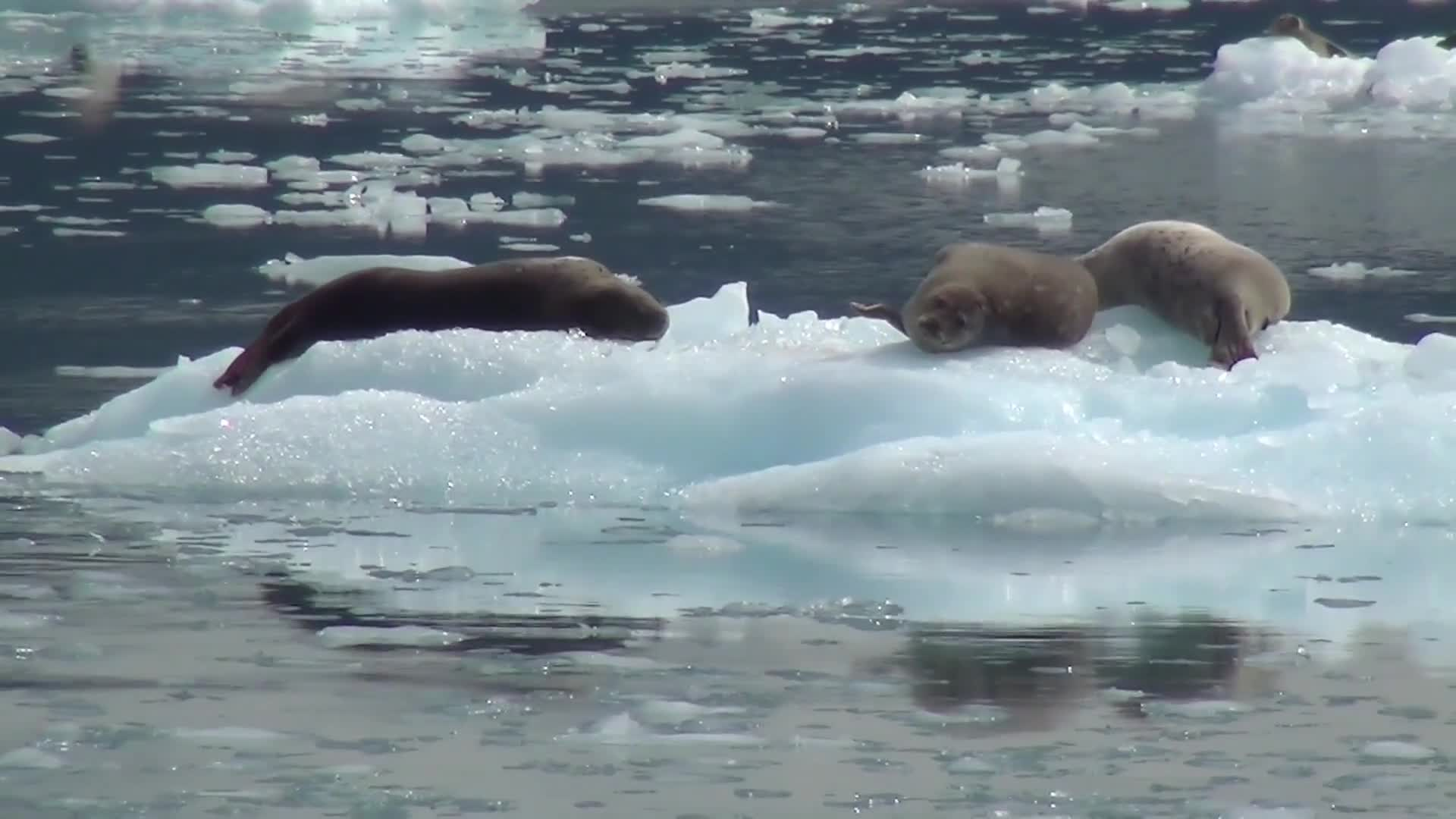 Sea lions lion alaska ice floe nature
