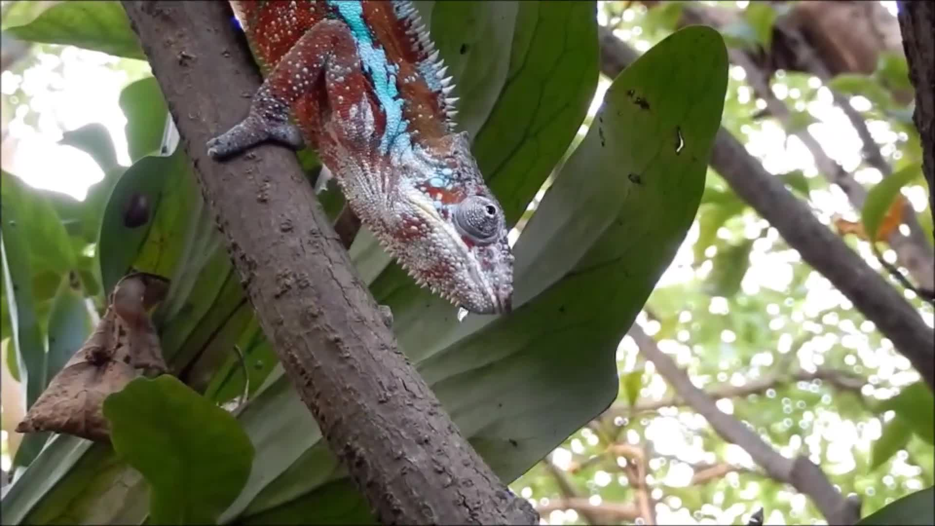 Chameleon eat hunting caught patience