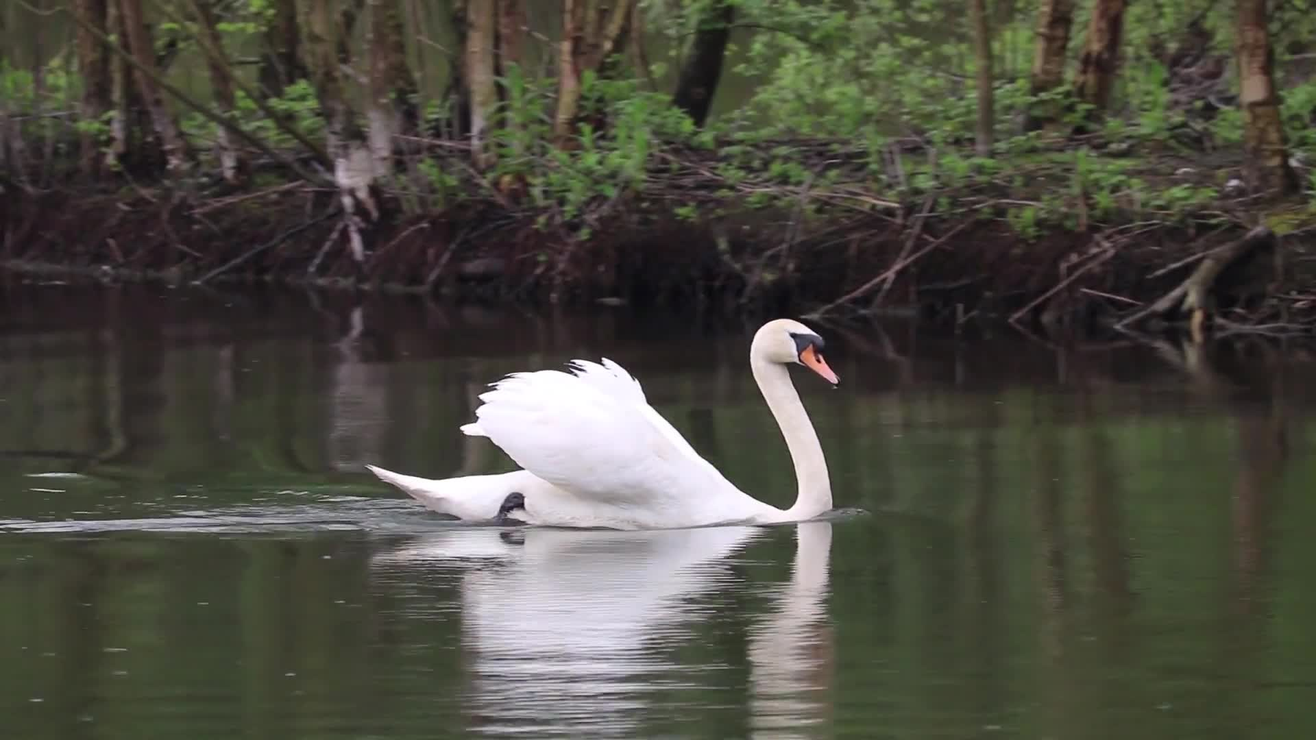 Swans swimming water bird fowl