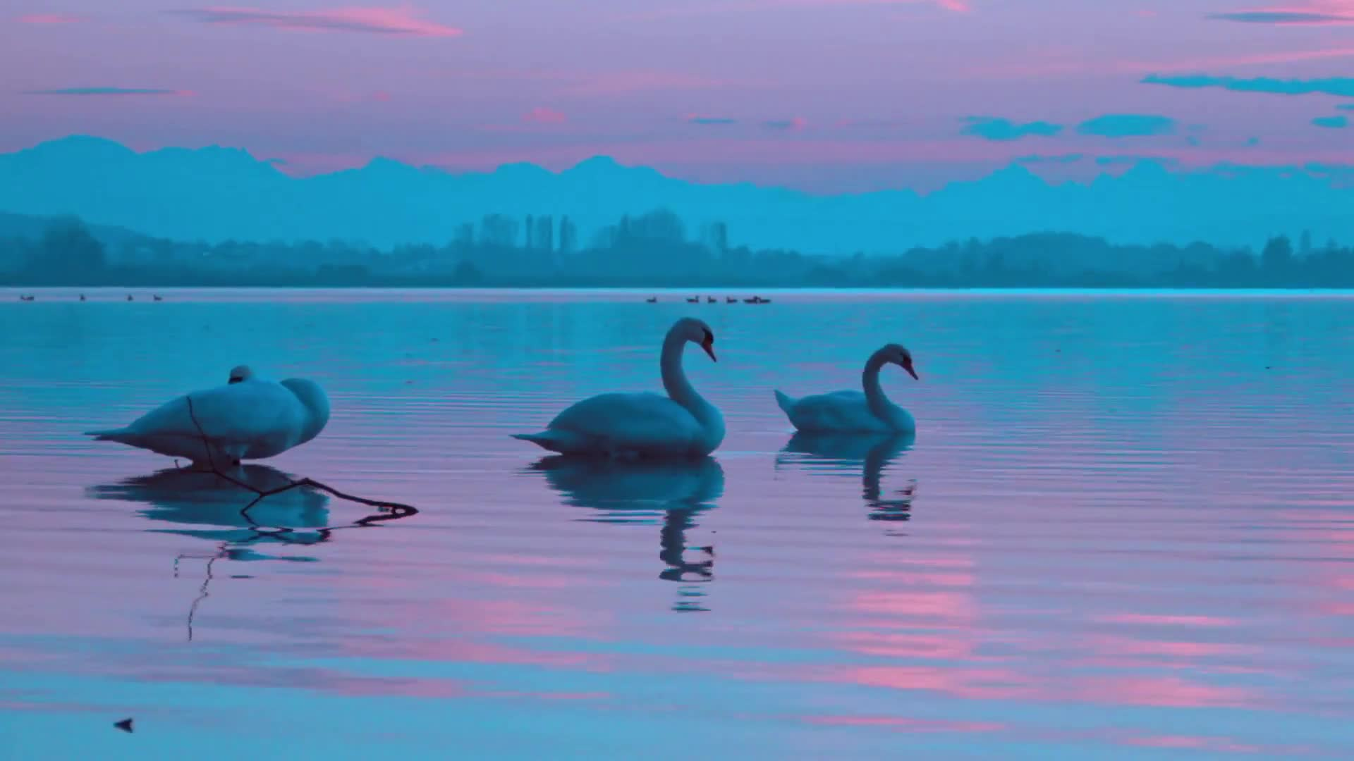 Swans birds evening twilight reflexion