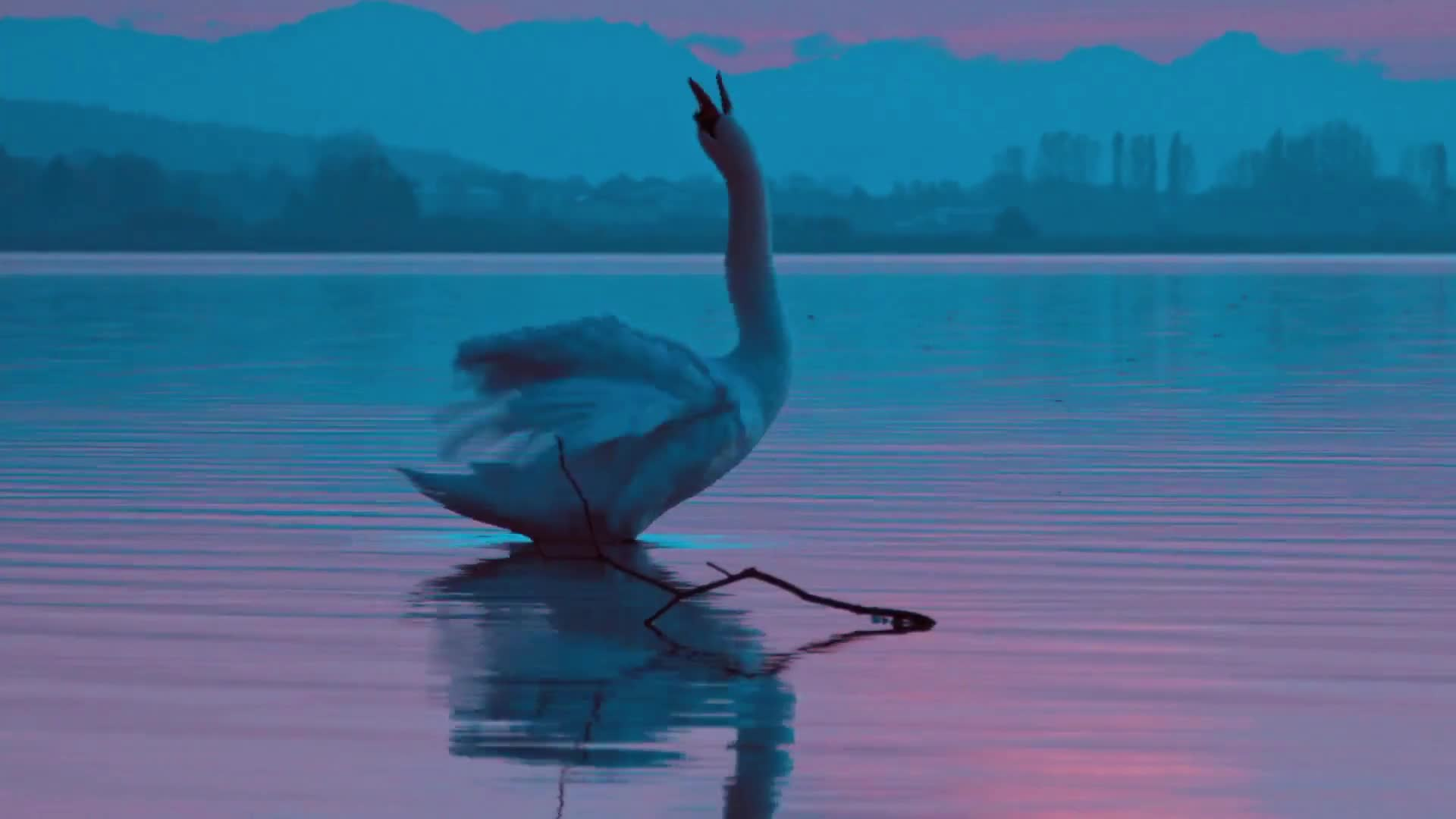 Swan bird evening twilight reflexion