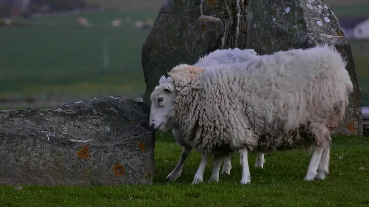 Sheep animals domestic grazing itchy