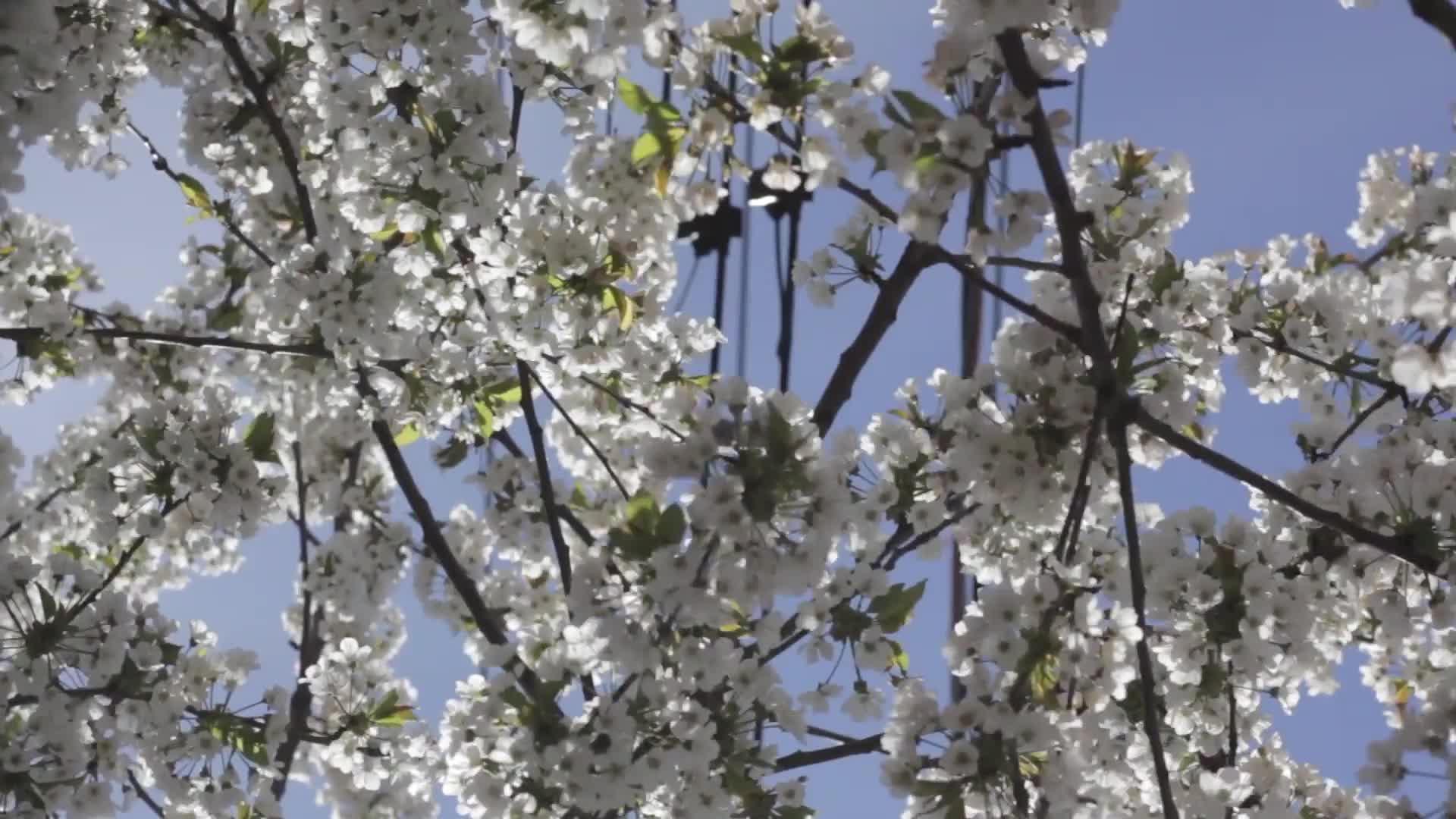 Tree blossom flowering tree twigs blossoming white