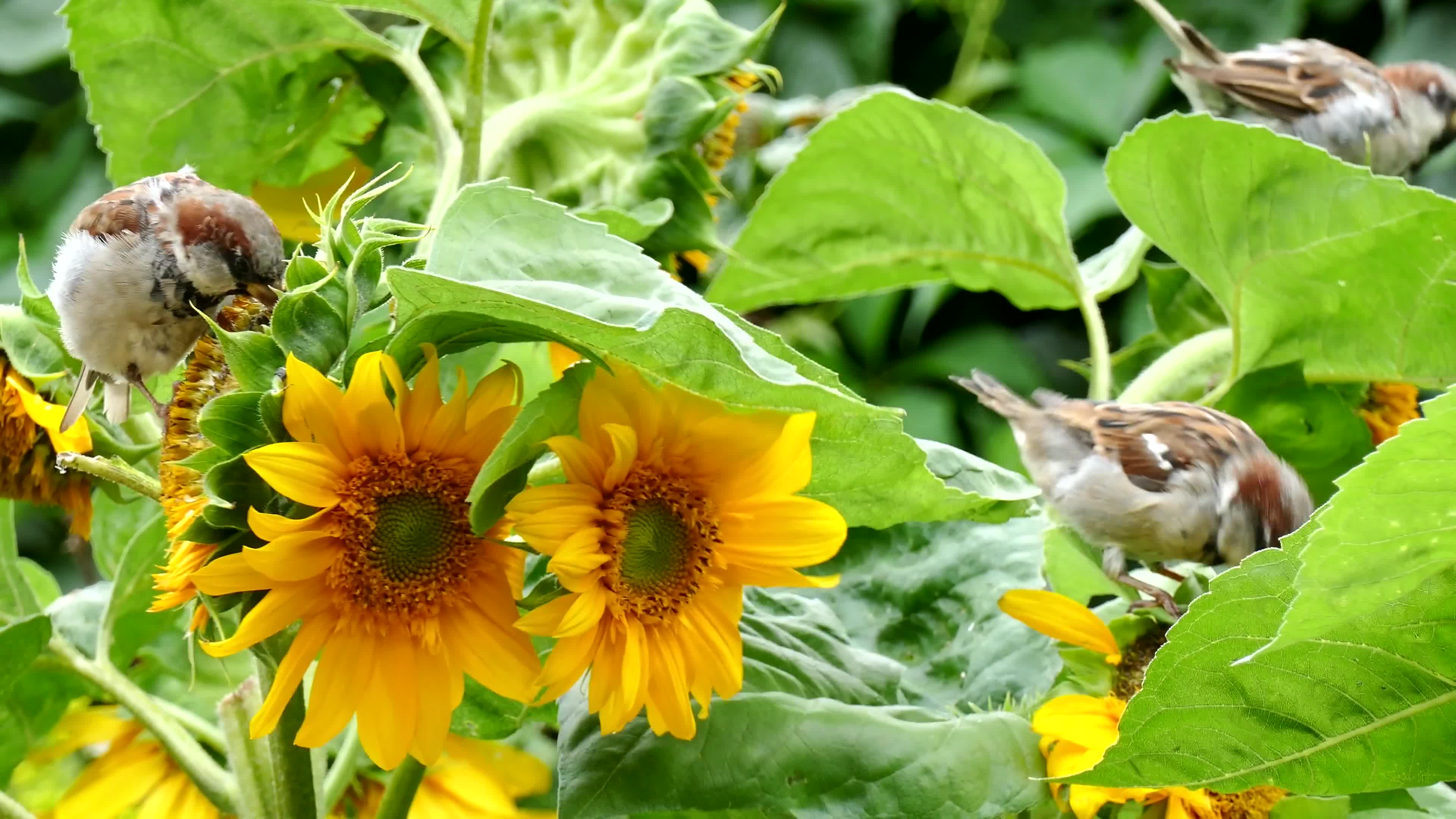 Bird sparrow sun flower foraging close