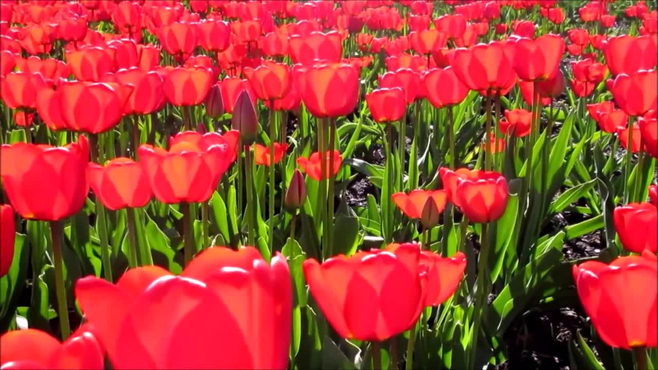 Tulips flowers red spring nature