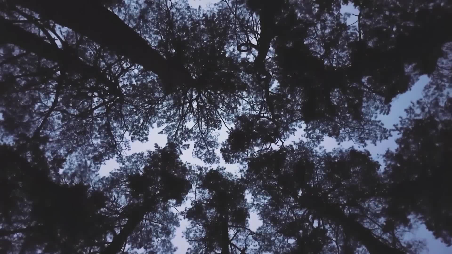 Forest trees clearing upward sky