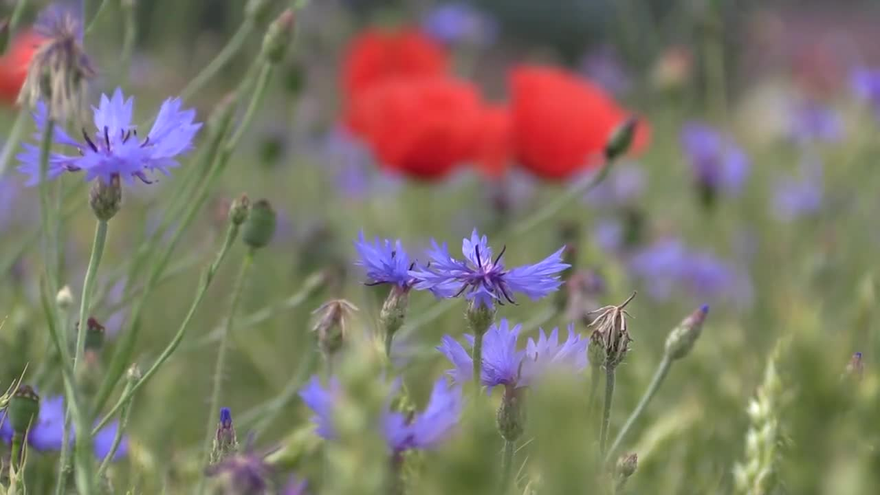 Poppy klatschmohn cornflower summer