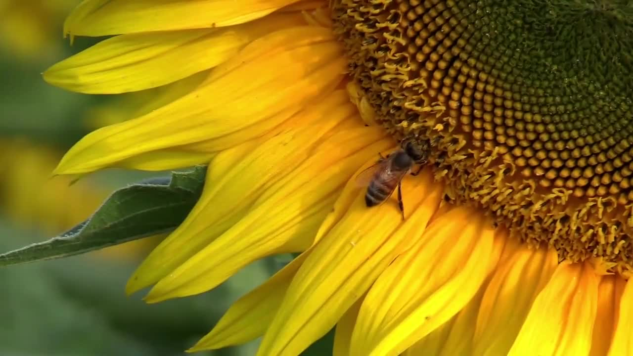 Sun flower bee summer