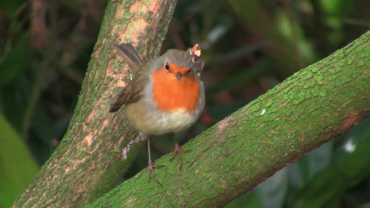 Robin bird redbreast wildlife animal