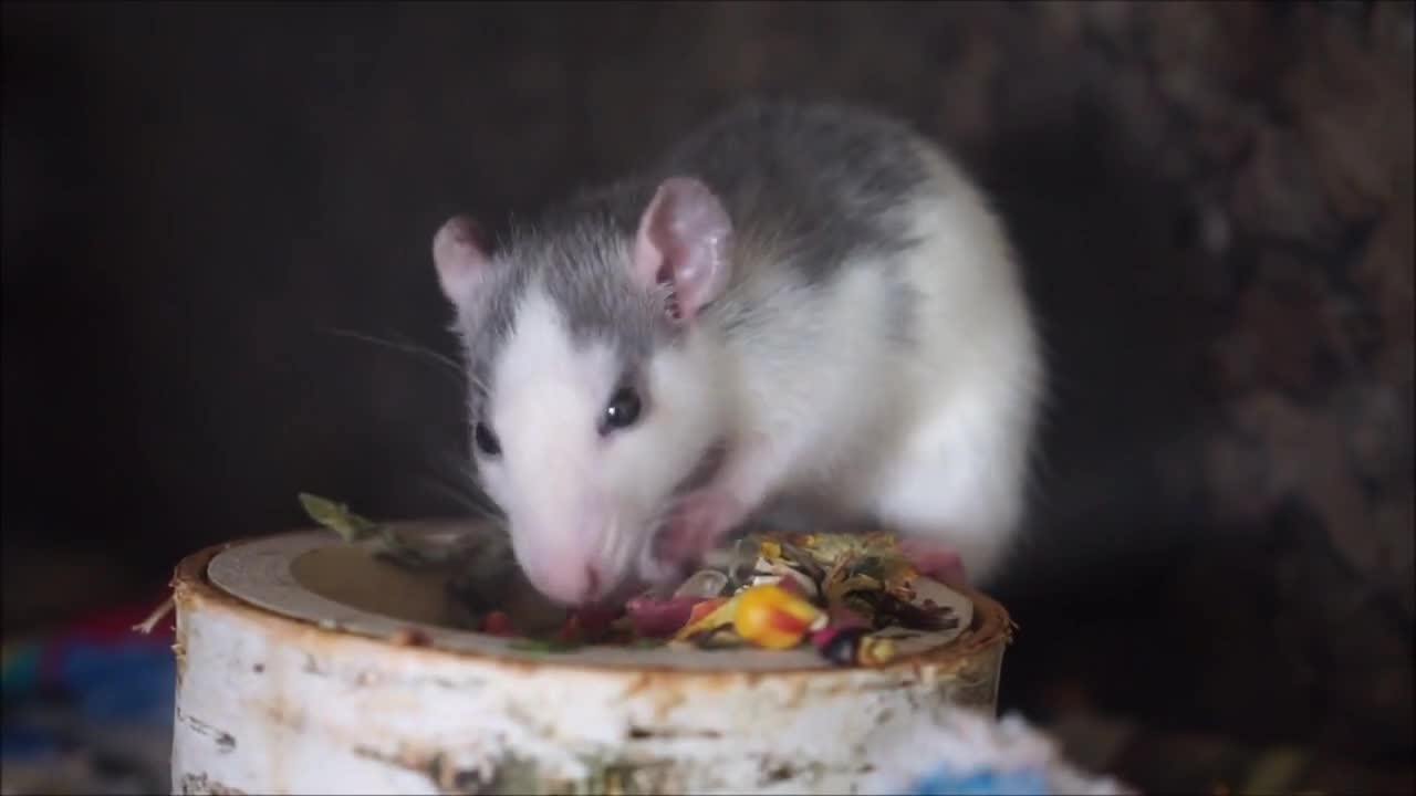 Rat nager eat chucks food