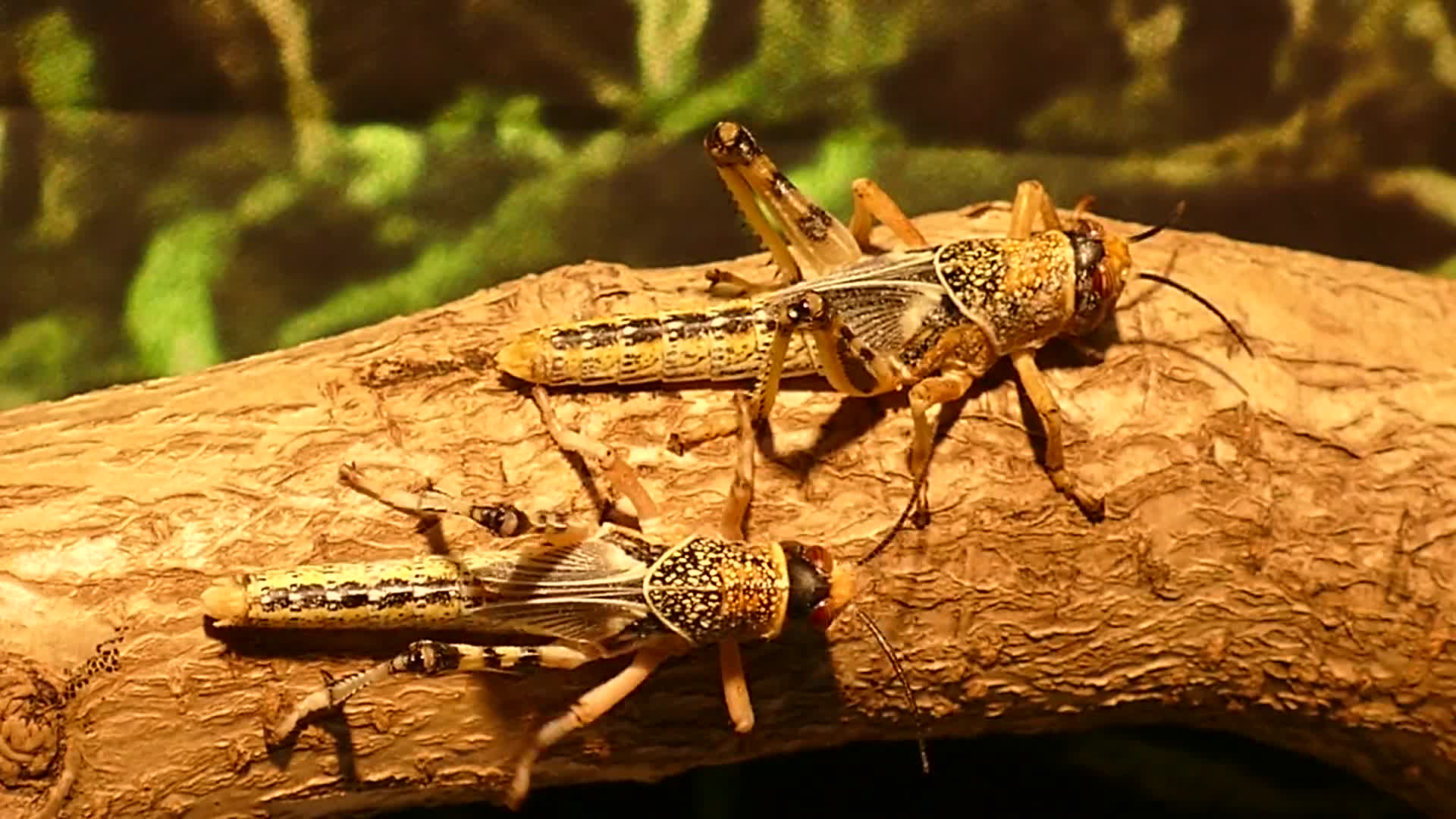 Insects locusts hoppers bug food