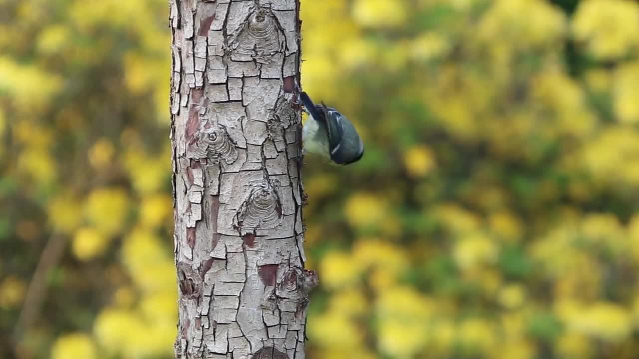 Blue tit bird tree trunk feeding avian